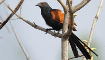 CROW-PHEASANT-OR-INDIAN-COUCAL