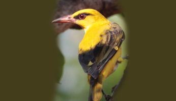 INDIAN-GOLDEN-ORIOLE