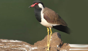 RED-WATTLED-LAPWING